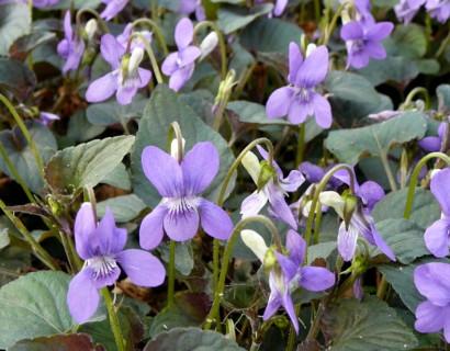 Viola labradorica - viooltje