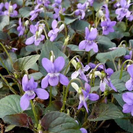 Viola labradorica (grote pot) - viooltje