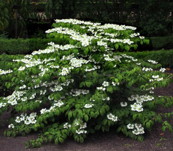 Viburnum plicatum 'Mariesii' - Japanse sneeuwbal