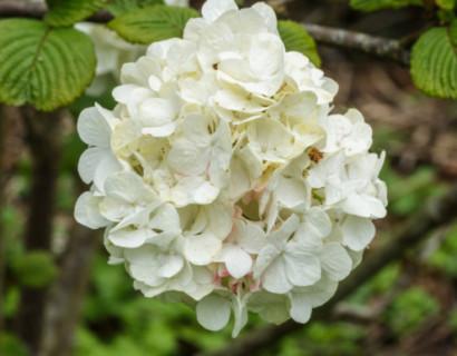 Viburnum plicatum 'Grandiflorum' of 'Rotundifolium' - Japanse sneeuwbal