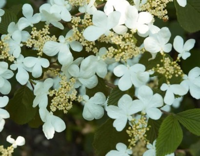 Viburnum plicatum 'Summer Snowflake' op stam - sneeuwbal