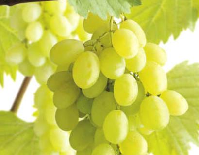 Vitis 'Parel van Zala' - witte druif