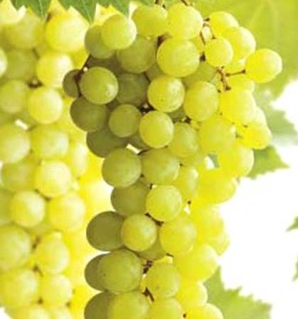 Vitis 'White Muscaat' - witte druif