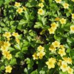 De bodembedekker met de gele bloem: Waldsteinia ternata.