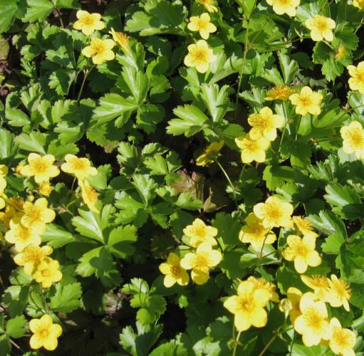 Waldsteinia ternata -