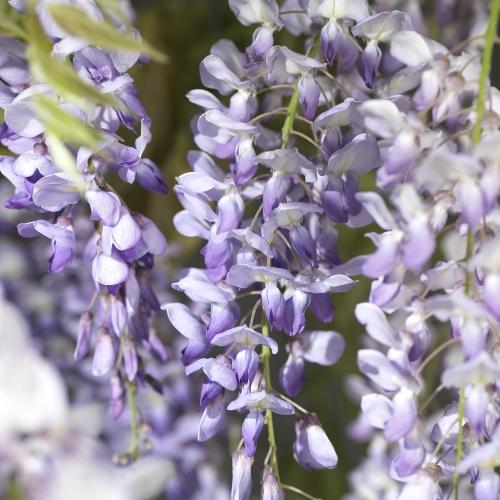 Wisteria sinensis - blauwe regen