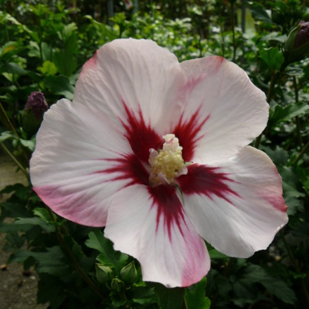 Hibiscus syriacus 'Hamabo' op stam - altheastruik, heemstroos