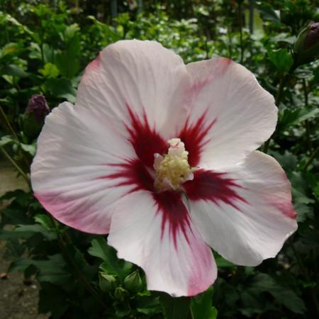 Hibiscus syriacus 'Hamabo' stam - altheastruik, heemstroos