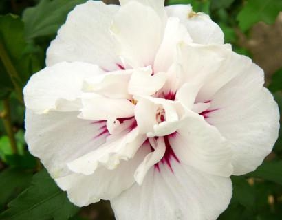 Hibiscus syriacus 'Speciosus' op stam - altheastruik, heemstroos