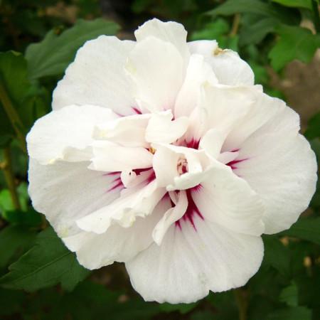 Hibiscus syriacus 'Speciosus' stam - altheastruik, heemstroos