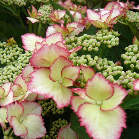 Hydrangea macrophylla 'Love you Kiss' - hortensia