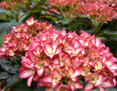 Hydrangea macrophylla Hovaria 'Mirai' - hortensia