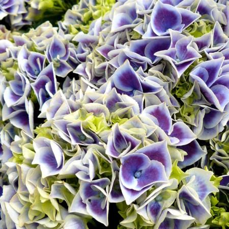 Hydrangea macrophylla 'Tivoli Blue' - hortensia