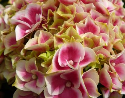 Hydrangea macrophylla 'Tivoli Red' - hortensia