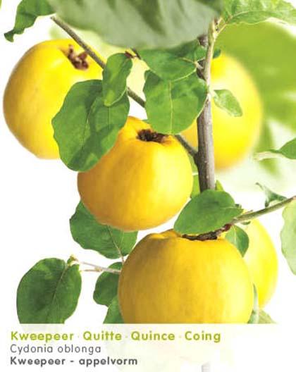 Cydonia oblonga appelvorm - kwee,kweepeer