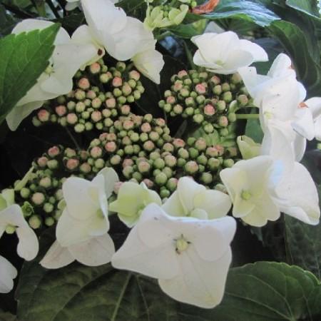 Hydrangea macrophylla 'Benxi' - hortensia