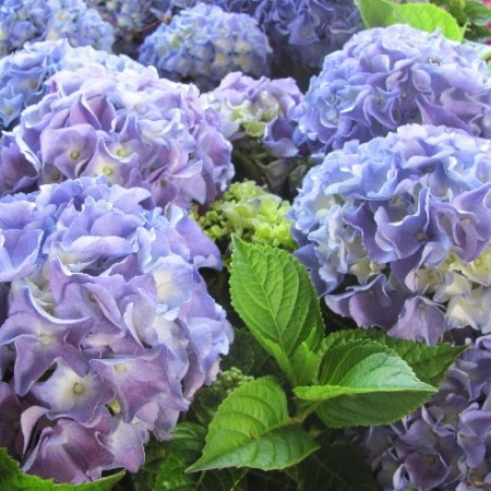 Hydrangea macrophylla 'Early Blue' - hortensia