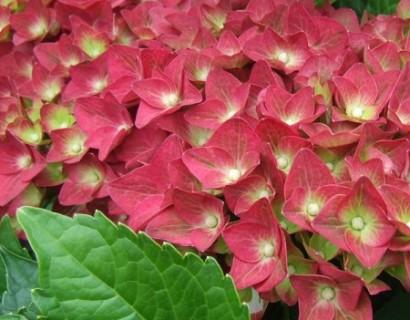 Hydrangea macrophylla 'Green Shadow' - hortensia