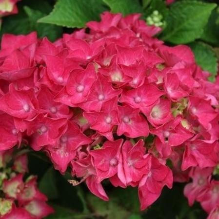 Hydrangea macrophylla 'Hot Red' - hortensia