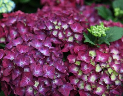 Hydrangea macrophylla 'Hot Red Violet'
