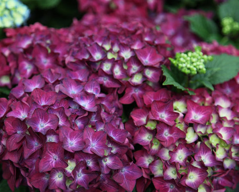 Hydrangea macrophylla 'Hot Red Violet' - hortensia