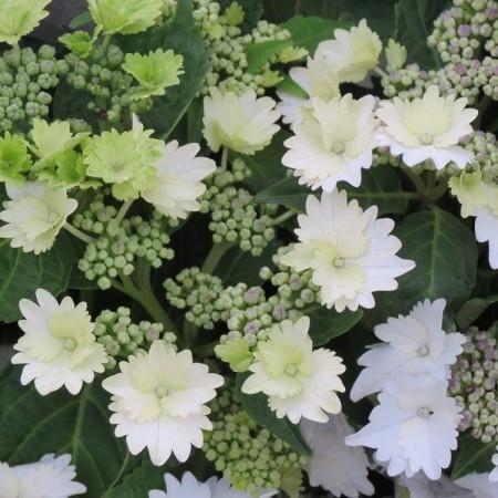 Hydrangea macrophylla 'Koria' - hortensia