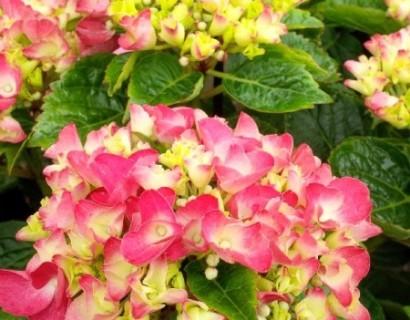 Bloeiende hortensia - schijnhulst