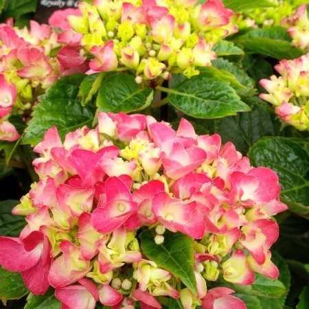 Hortensia royal red