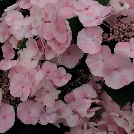 Hydrangea macrophylla 'Sturdy Nanping' - hortensia
