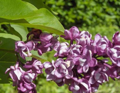 Syringa vulgaris 'Charles Joly' op stam - sering, kruidnagel