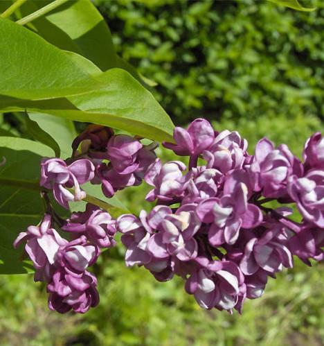 Syringa vulgaris 'Charles Joly' - sering, kruidnagel