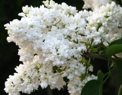 Syringa vulgaris 'Mme Lemoine' op stam - sering, kruidnagel