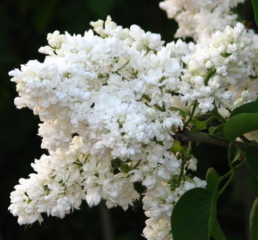 Syringa vulgaris 'Mme Lemoine' - sering, kruidnagel