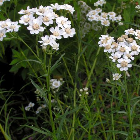 Achillea ptarmica - sneeuwbal plantje