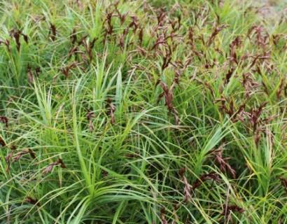 Carex muskingumensis - paraplu zegge