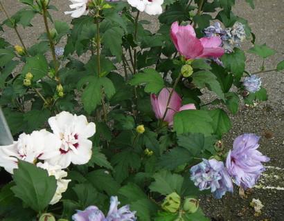 Hibiscus syriacus 'Tricolor' op stam - altheastruik, heemstroos