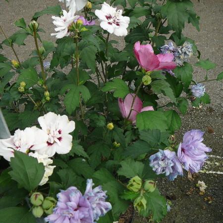 Hibiscus syriacus 'Tricolor' stam - altheastruik, heemstroos