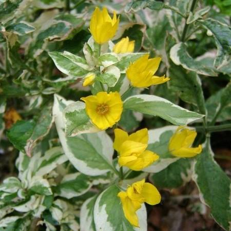 Lysimachia variegata - bont moeras