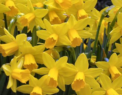 Narcis 'Tête à tête' pot 12 cm