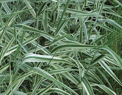 Phalaris arundinacea 'Picta' - bont rietgras