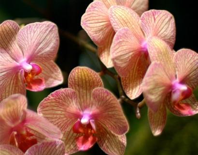 Phalaenopsis 2-tak  orchidee