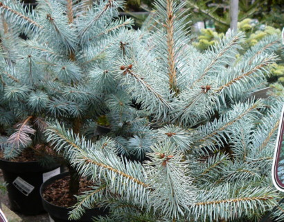 Picea pungens 'Blue Diamond' - blauwspar