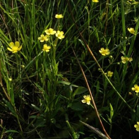 Ranunculus flammula - egelsboterbloem