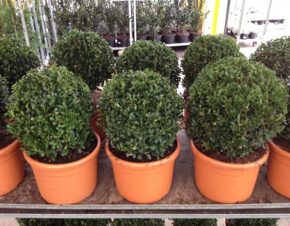 Buxus sempervirens bol 25