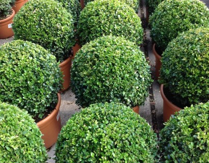 Buxus sempervirens bol 35
