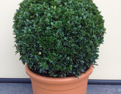 Buxus sempervirens bol 40
