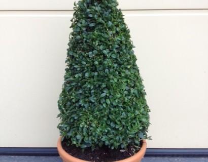 Buxus sempervirens kegel 60