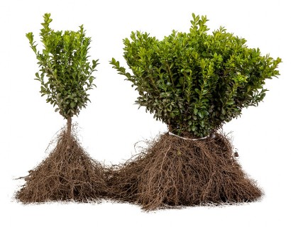 Buxus sempervirens blote wortel 20/30