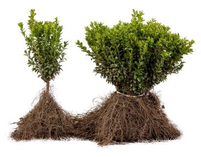 Buxus sempervirens blote wortel 20/30 cm - palm