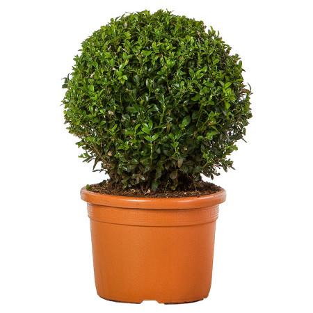 Buxus sempervirens bol 25 cm - palm